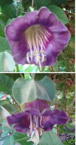 glockenrebe cobaea scandens lila bl ten wundersch ne kletterpflanze. Black Bedroom Furniture Sets. Home Design Ideas