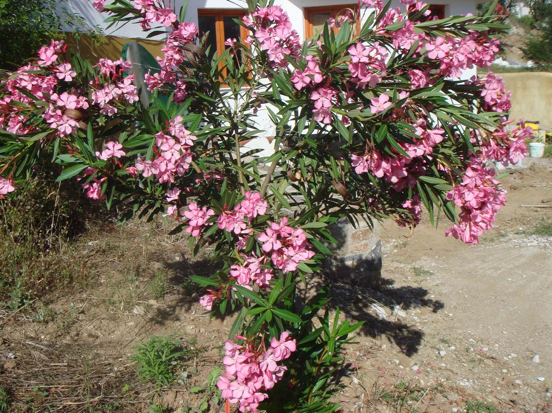oleander pink rosa mediterrane k belpflanze nerium. Black Bedroom Furniture Sets. Home Design Ideas