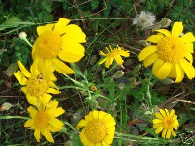 goldblume saatwucherblume gelb wie margeriten. Black Bedroom Furniture Sets. Home Design Ideas