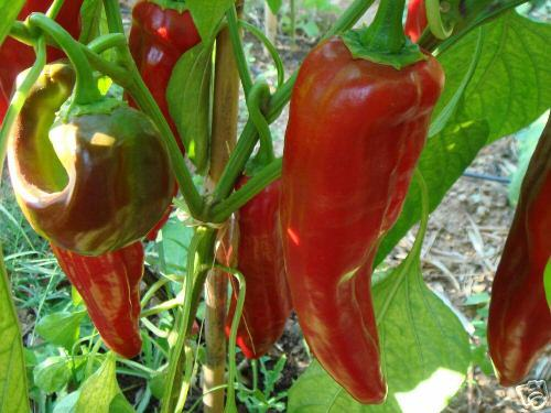 Numex Big Jim Pepper, Chili, mild