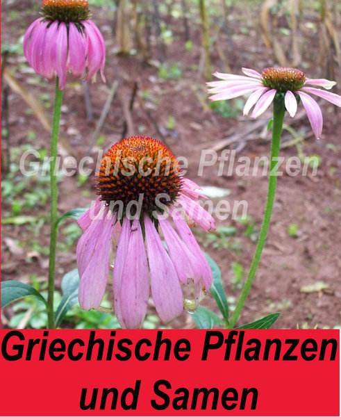 sonnenhut pink echinacea pupurea tolle staude. Black Bedroom Furniture Sets. Home Design Ideas
