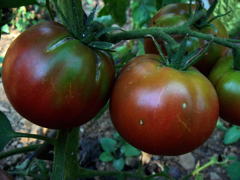 black brandywine tomate schwarz ges nder als rote tomaten. Black Bedroom Furniture Sets. Home Design Ideas