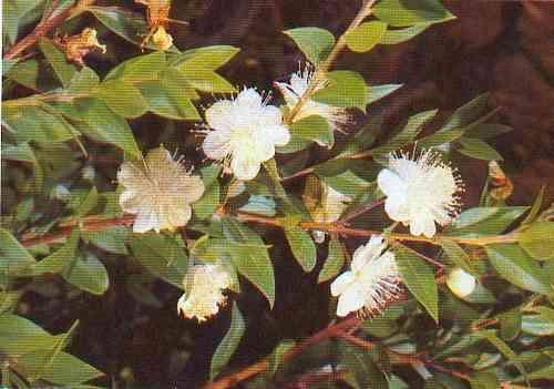 myrte myrtus communis pflanze mit alter tradition griechische pflanzen und samen. Black Bedroom Furniture Sets. Home Design Ideas