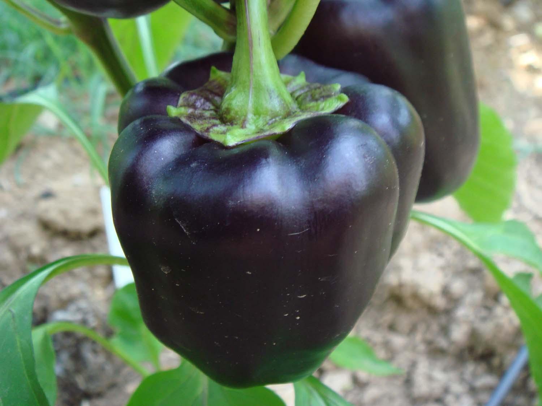 purple beauty pepper schwarze runde paprika rarit t. Black Bedroom Furniture Sets. Home Design Ideas