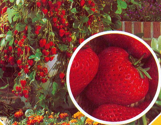 monats erdbeere aromatische kleine erdbeeren. Black Bedroom Furniture Sets. Home Design Ideas