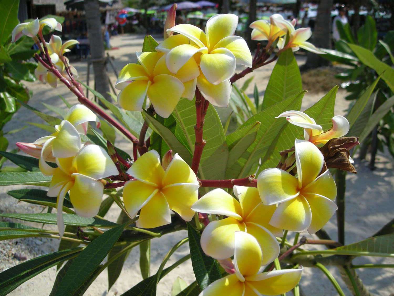 plumeria hybrids frangipani pagodenbaum viele farben. Black Bedroom Furniture Sets. Home Design Ideas