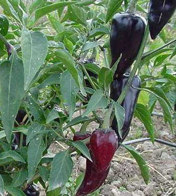 Jalapeno purple, Chili schwarz