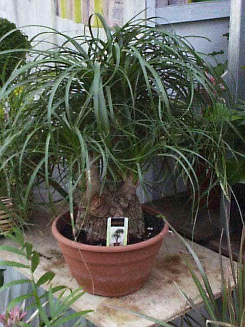 Beaucarnea recurvata elefantenfu flaschenbaum - Zimmerpflanze rankend ...
