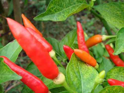 Tabasco Chili, C.frutescens, das Original