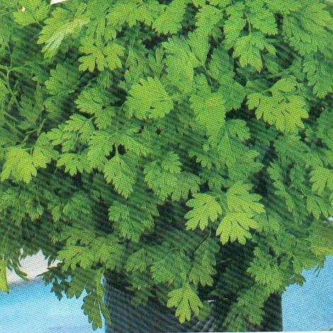 kerbel heil und gew rzpflanze