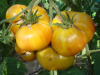 Candys old yellow Tomate, gelb gestreift/marmoriert